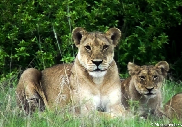 lion (1 of 2)